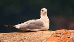 Smile For Me, The Birdie! (nywheels) Tags: seagulls bird birds nikon bokeh seagull d7100 nikond7100