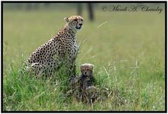 Mamma & her babies (MAC's Wild Pixels) Tags: wild kenya ngc cheetah pixels macs masaimara cheetahcub coth supershot specanimal fantasticnature canonef300mmf28lisusm goldwildlife slicesoftime maratriangle femalecheetah coth5 canoneos1dmkiv oloololoescarpment ringexcellence sunrays5