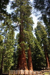 General Sherman (K e v i n) Tags: california ca vacation tree nature sierranevada sequoia sequoianationalpark generalsherman canoneosdigitalrebelxti