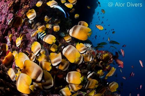 wall dive. Pantar island. alor-divers.com