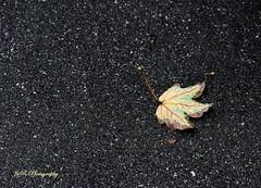 Fall # 2 (Joevimalraj) Tags: road autumn brown green fall nature beauty leaves rain yellow canon season eos switzerland leaf drops maple swiss multicoloured joe chips textures dew mapleleaf photowalk reverse multicolored tar array 600d jvr joevimalraj