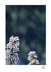 Cherry Rising (heritagefutures) Tags: flower lens cherry 1930s nikon bokeh f45 sakura medium format konica dslr trial largeformat sensor hexar d300 さくら apsc rokuohsha 21cm konishiroku