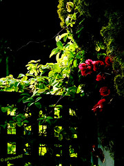 The Trellis (Steve Taylor (Photography)) Tags: city shadow red newzealand christchurch black flower green leaves silhouette fence bush canterbury trellis nz southisland cbd backlit redzone