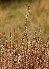 csarab / ling (debreczeniemoke) Tags: autumn plant heather ericaceae transylvania ling transilvania erdély callunavulgaris növény ősz heidekraut besenheide brugo rozsály callune bruyèrecallune commonheather canonpowershotsx20is csarab igniş hangafélék bruyèrecommune faussebruyère iarbăneagră közönségescsarab