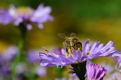 Angelockt (deta k) Tags: flowers macro berlin germany deutschland flora natur pflanzen blumen bee insekten blten bienen nikond5100