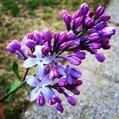 Lilac (franki28) Tags: flowers nature beauty square flora purple lofi lilac squareformat iphoneography instagramapp
