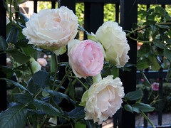 Never promised you a rosegarden. (Shahrazad26) Tags: roses groningen rozen prinsentuin