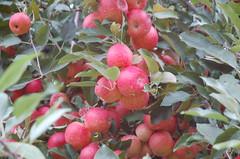 "Gala Apples <a style=""margin-left:10px; font-size:0.8em;"" href=""http://www.flickr.com/photos/91915217@N00/10302966485/"" target=""_blank"">@flickr</a>"
