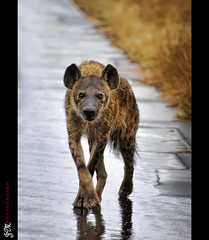 The Hyena... (J Montero) Tags: africa hyena