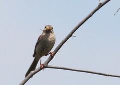 Field Sparrow (Tombo Pixels) Tags: bird field newjersey nj sparrow vernon appalachiantrail fieldsparrow twb1 appalachiantrail130186 naturewalk2013