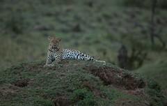 Leopard (kerrybluett100) Tags: safari leopard bigcats masaimara kicheche canon5dmk111 canon300f28mk11