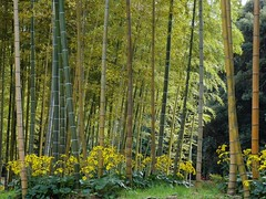 PB091851_Lr silverleaf  and bamboo (nak.viognier) Tags: osaka autumnal bampaku    olympussh50