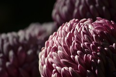 Purple (KaDeWeGirl) Tags: newyorkcity garden botanical japanese petals purple bronx chrysanthemum nybg kiku abigfave