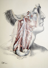 Arteries and nerves of the neck (liverpoolhls) Tags: history face neck muscle medical anatomy physiology