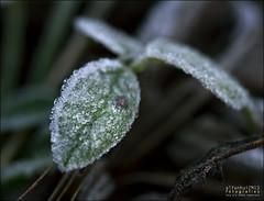 Gebre ( alfanhu) Tags: cold planta ice leaf frost frosty fred fro gel sella rosada hoar mat escarcha gebre xarquer tafarmaig
