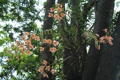 Dendrobium moschatum (klarikris) Tags: tree garden orchids landscaping jardim rbol tropical growing orchidee rvore cultivo paisajismo sibipiruna cultivada dendrobiummoschatum caesalpinea peltophoroides gorwnontree