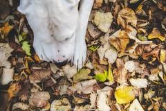 (Katarina Drezga) Tags: wood autumn portrait pet pets dogs nature animals forest woods foliage perro perros pas dogphotography petphotography dogoargentino argentinianmastiff nikond3100 argentinskipas