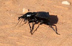 Coleoptera sp. (Nick Dean1) Tags: southafrica beetle krugernationalpark coleoptera pundamaria