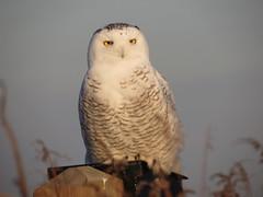 Snowy Owl by SpeedyJR (SpeedyJR) Tags: nature birds wildlife indiana owls snowyowl ias portercountyindiana speedyjr