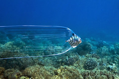 Threadfin Jack (bodiver) Tags: jack hawaii ambientlight freediving fins africanpompano