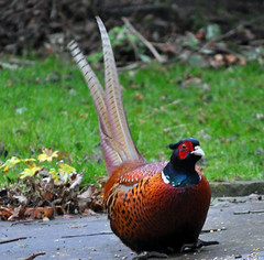 My friendly Pheasant (littlestschnauzer) Tags: uk morning winter red england brown west male green nature rural countryside long village pheasant britain wildlife yorkshire tail january feathers overcast phasianuscolchicus elements colourful common russet 2014 emley