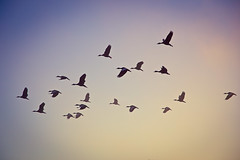 Ducks in flight (Android9) Tags: morning blue light sky lake reflection water birds fog sunrise canon flying ducks reflected gradient through 6d reflectedsky reflectedinwater theskyatsunrise