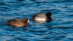 Greater Scaup (Aythya marila) (ER Post) Tags: lighthouse bird duck unitedstates michigan muskegon michiganlighthouse greaterscaupaythyamarila muskegonsouthpierlighthouse