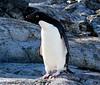 A smart Adelie (ericy202) Tags: penguin december antarctica 2006 peninsula antarctic adelie wildpenguin