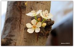 Madrid 2014-03 Primavera en Arenal (ferlomu) Tags: ferlomu flor madrid plaza plazapuertadelsol flower