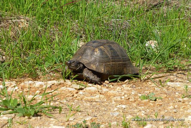 Tortuga en la pista de acceso a Bonçuk Kolu
