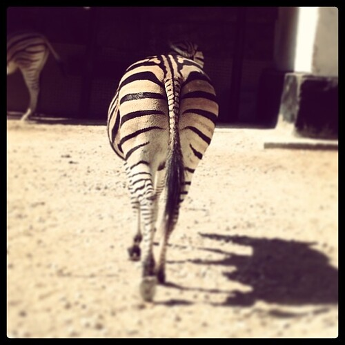 Leaving zebra #zoo #zebra