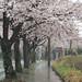Cherry blossoms in rain #1
