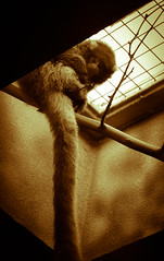 Daydreamer (by Travis Harris.) Tags: love animals sex zoo colorado cage denver mating monkeys lust breed temptation primate