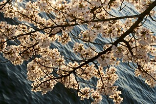 Peak Bloom 2014 (Evening)