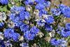 IMG_4588 (cheryl's pix) Tags: california flowers flower berkeley botanicgarden botanicalgardens botanicalgarden botanicgardens berkeleyca berkeleybotanicalgarden ucbotanicalgarden universityofcaliforniabotanicalgarden universityofcaliforniabotanicalgardenatberkeley