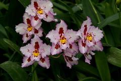 Odontioda Hannelore Panczak (rolf_leon) Tags: orchideen orchids orchidées oncidium odontoglossum odontioda