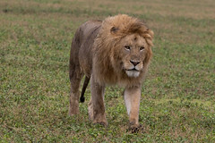 Ngorongoro male lion (Ring a Ding Ding) Tags: 2017 africa bigcat entamanu lion ngorongorocrater pantheraleo tanzania bigmane cat male nature predator safari wildcat wildlife