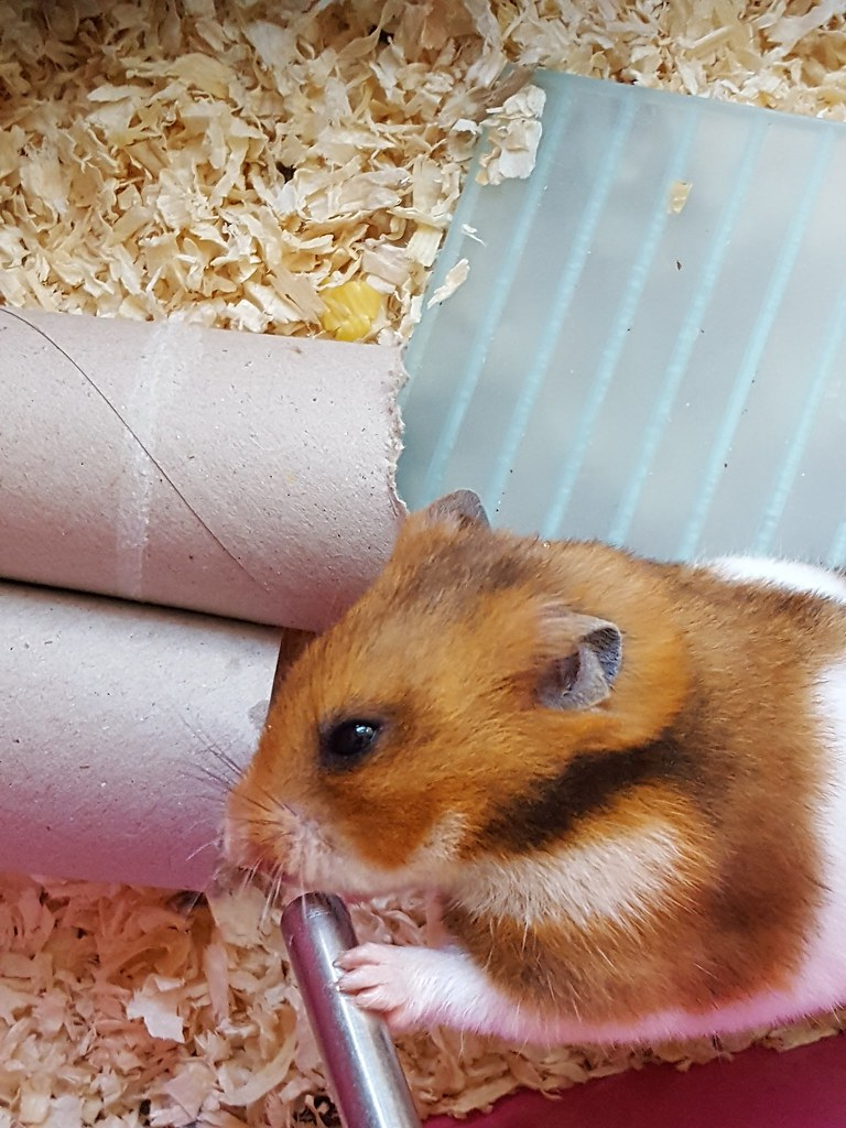 Baby Hamsters: Before and after birth