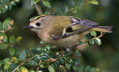 Goldcrest closeup (tobyhoulton) Tags: small bird goldcrest tiny nikon d500 toby houlton wildlife nature outside