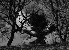 trees (ewjz31) Tags: causeyarchwoods countydurham northeastofengland uk trees monochrome greenman