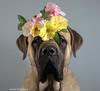 Bumba the spring chicken. (lexlikelily) Tags: bumba englishmastiff mastiff bigdogs dog flowercrown cute spring