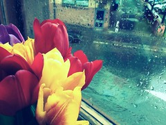 One hundred and six. Tulips and raindrops (sarahjanequinn) Tags: flowers rain tulips iphone project365 chameleonfilter