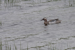 Garganey Anas querquedula (Peregrine's Bird Photography) Tags: bird birds aves nash avifauna codown garganey bird quoile anasquerquedula photography images birds ireland photographer craig blog wwwperegrinesbirdblogblogspotcom photographybird nashcraig peregrines castleislandhide