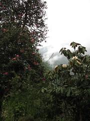 Rhododendron Arboreum & R. falconeri, above Tsoka, Dzongri Trek, Sikkim, 10th May 2007 (jrcollman) Tags: plants india places rhododendron archived rhododendronarboreum importedtags rplant dzongritrek rhododendronfalconeri cardqualfromverbatum sikkimdendrobiumnobileistheofficialflowerofsikkim