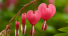 Bleeding Hearts (jgolds2) Tags: pink plant flower perennial bleedinghearts lamprocapnosspectabilis dutchmanstrousers venuscar lyreflower ladyinabathtub