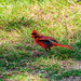 Cardinal in the Grass at Brazos Bend