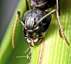 Eastern Black Carpenter Ant (BeetleBrained) Tags: black macro insect lens nikon ant maryland baltimore ants reversed nikkor winged antennae carpenter macrophotography carpenterant extensiontubes d5100