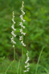 Spiranthes vernalis (Eric Hunt.) Tags: white orchid flower orchidaceae spiranthes geophyte spiranthesvernalis