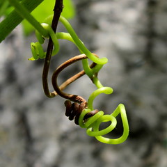 two tendrils (danna  curious tangles) Tags: vine tendril grape