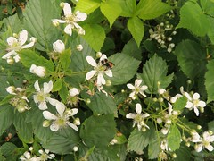 Wild blackberries and the bee. (Yolanta Z) Tags: stagathe